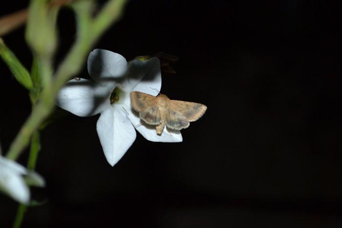 Fluturele şi regina nopţii