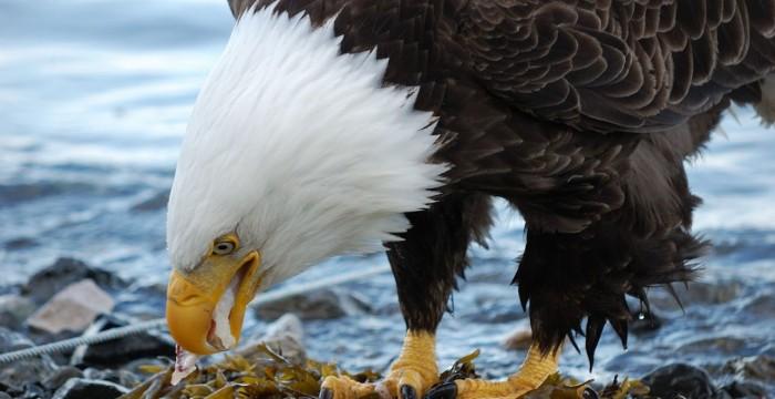 Vultur de Alaska