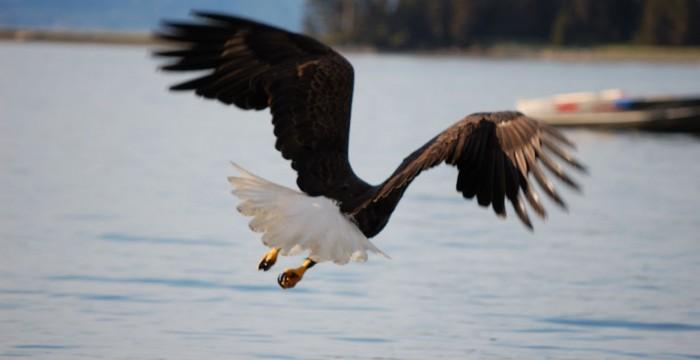 Vultur Alaska