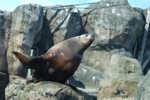 Leu de mare, Alaska